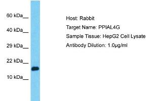 Image no. 1 for anti-Peptidylprolyl Isomerase A (Cyclophilin A)-Like 4G (PPIAL4G) (C-Term) antibody (ABIN2791866)