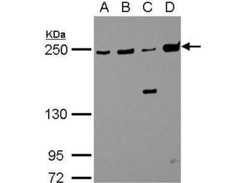 Western Blotting (WB) image for anti-Non-Muscle Myosin Heavy Polypeptide 9 (MYH9) (N-Term) antibody (ABIN441725)