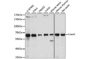 Image no. 1 for anti-Leucine-Rich Repeat and WD Repeat-Containing Protein 1 (LRWD1) antibody (ABIN6568759)
