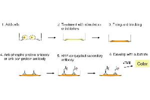 Image no. 2 for Signal Transducer and Activator of Transcription 4 (STAT4) ELISA Kit (ABIN1981841)