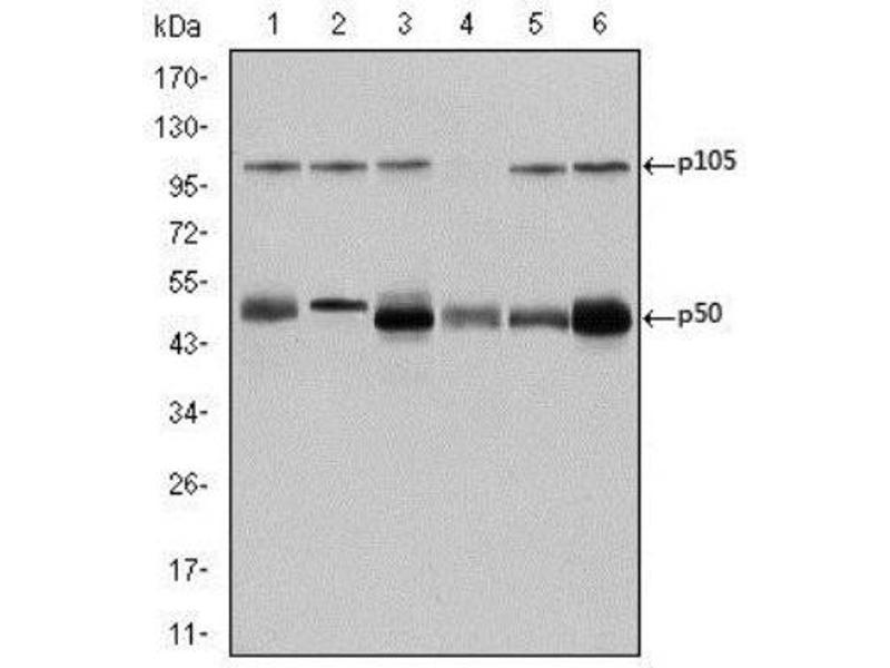 Western Blotting (WB) image for anti-Nuclear Factor of kappa Light Polypeptide Gene Enhancer in B-Cells 1 (NFKB1) antibody (ABIN4339352)