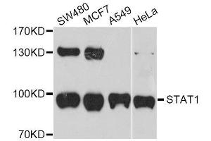 Image no. 1 for anti-Signal Transducer and Activator of Transcription 1, 91kDa (STAT1) antibody (ABIN6135913)
