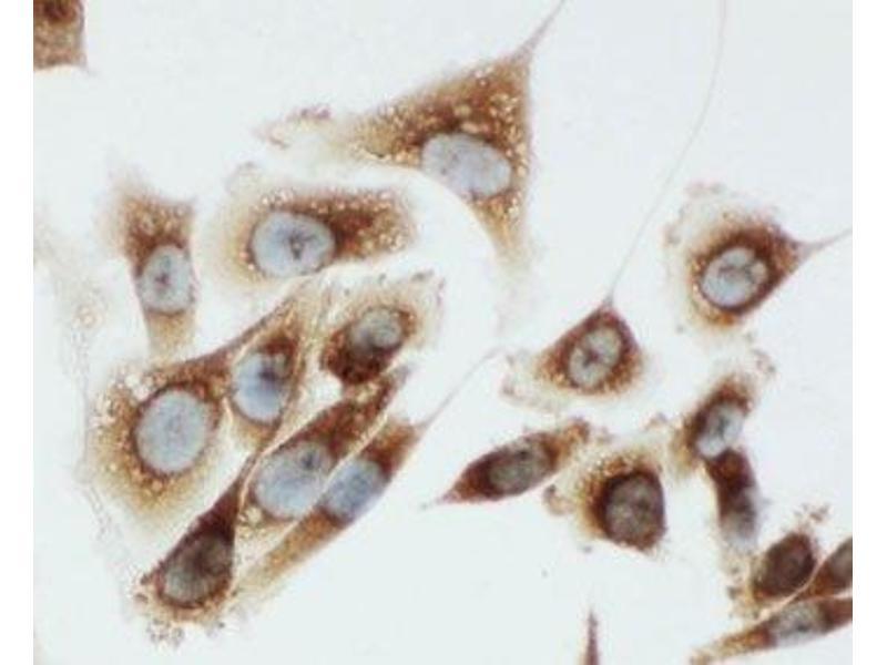 Immunocytochemistry (ICC) image for anti-Kallikrein 6 (KLK6) (C-Term) antibody (ABIN3031530)