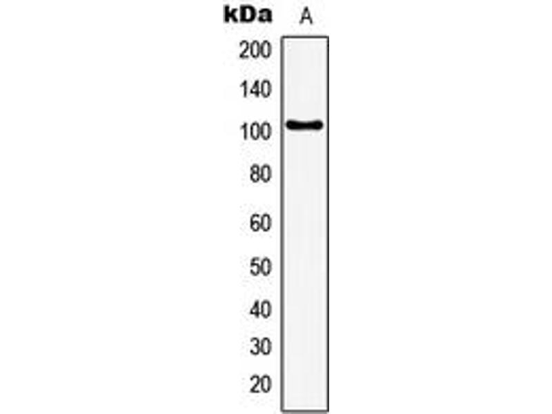 Image no. 2 for anti-General Transcription Factor IIIC, Polypeptide 3, 102kDa (GTF3C3) (N-Term) antibody (ABIN2707542)