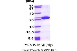 Image no. 1 for Peroxiredoxin 6 (PRDX6) (Active) protein (ABIN1304485)