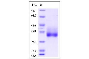 Image no. 1 for Fibroblast Growth Factor 18 (FGF18) (AA 1-207) (Active) protein (His tag) (ABIN2005560)