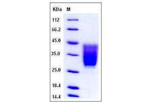 Image no. 1 for CD99 Molecule-Like 2 (CD99L2) (AA 1-164), (Extracellular Domain) (Active) protein (His tag) (ABIN2007928)