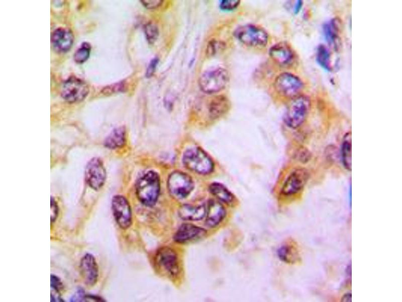 Immunohistochemistry (IHC) image for anti-Caspase 9 antibody (Caspase 9, Apoptosis-Related Cysteine Peptidase) (Center) (ABIN2705696)