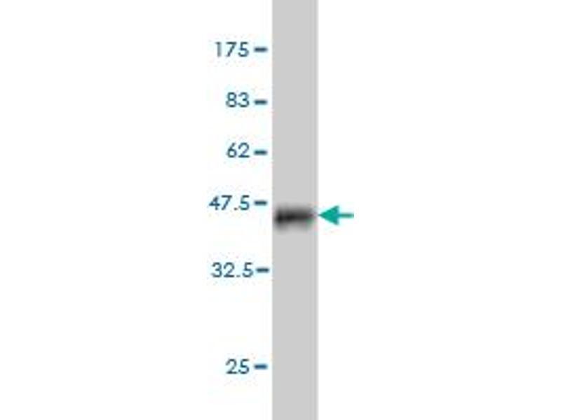 Image no. 2 for anti-Berardinelli-Seip Congenital Lipodystrophy 2 (Seipin) (BSCL2) (AA 259-357) antibody (ABIN1327202)