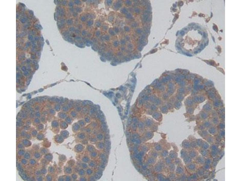 Immunohistochemistry (Paraffin-embedded Sections) (IHC (p)) image for anti-Glutathione Peroxidase 5 (GPX5) (AA 22-221) antibody (ABIN2930980)