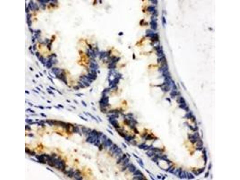 Immunohistochemistry (IHC) image for anti-Kallikrein 6 antibody (KLK6) (C-Term) (ABIN2487455)
