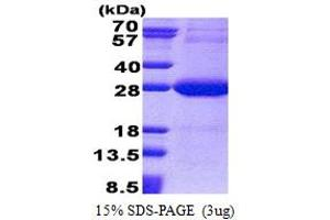 Image no. 1 for NADH Dehydrogenase (Ubiquinone) Flavoprotein 2, 24kDa (NDUFV2) (AA 33-249) protein (His tag) (ABIN5853221)