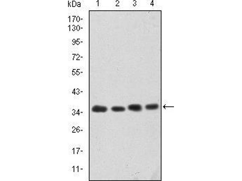 Image no. 5 for anti-Cyclin-Dependent Kinase 5 (CDK5) antibody (ABIN969041)