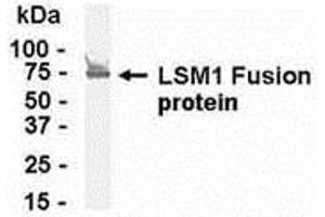 Image no. 1 for anti-LSM1 Homolog, U6 Small Nuclear RNA Associated (S. Cerevisiae) (LSM1) (AA 1-133) antibody (ABIN2468063)