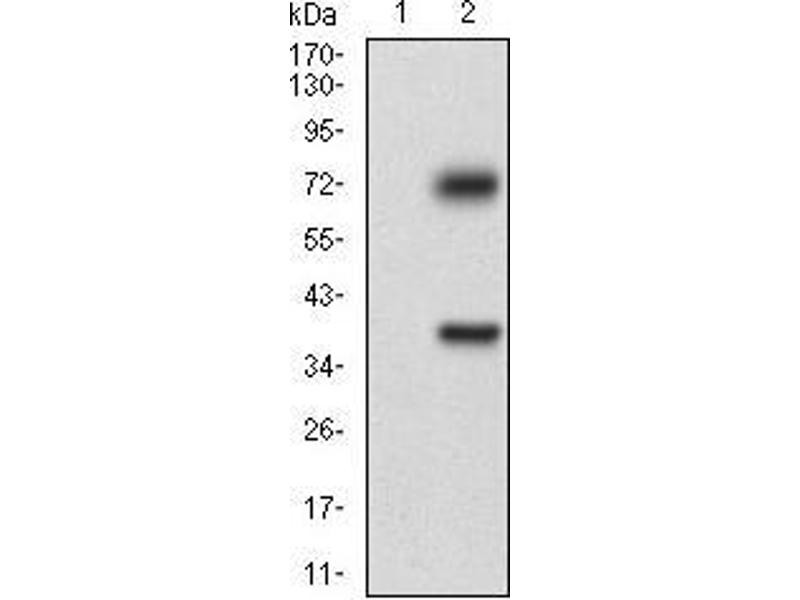 Western Blotting (WB) image for anti-TUBE1 antibody (Tubulin, epsilon 1) (AA 314-472) (ABIN2683017)