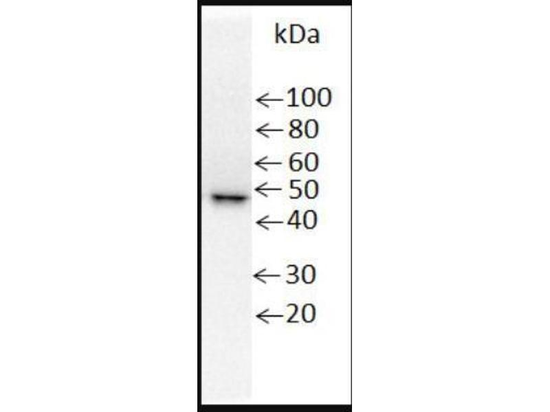 Western Blotting (WB) image for anti-His Tag antibody (ABIN255788)
