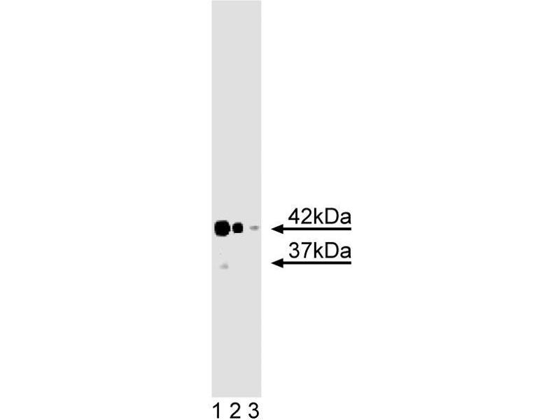 Western Blotting (WB) image for anti-Chloride Channel, Nucleotide-Sensitive, 1A (CLNS1A) (AA 92-201) antibody (ABIN968447)