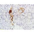 anti-CEACAM3 antibody (Carcinoembryonic Antigen-Related Cell Adhesion Molecule 3)