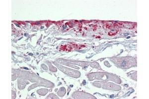 Image no. 1 for anti-Periostin, Osteoblast Specific Factor (POSTN) (Middle Region) antibody (ABIN634643)