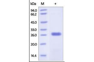 Image no. 1 for BCL2-Like 1 (BCL2L1) (AA 1-212) protein (His tag) (ABIN2180638)