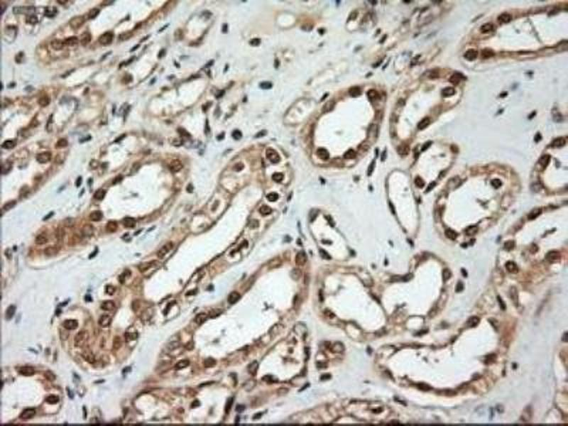 Immunohistochemistry (Paraffin-embedded Sections) (IHC (p)) image for anti-Neurotrophin 4 antibody (NTF4) (ABIN4340785)