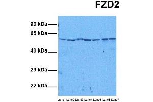 Image no. 2 for anti-Frizzled Family Receptor 2 (FZD2) (N-Term) antibody (ABIN2776701)