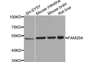 Image no. 1 for anti-Family with Sequence Similarity 20, Member A (FAM20A) antibody (ABIN6571798)