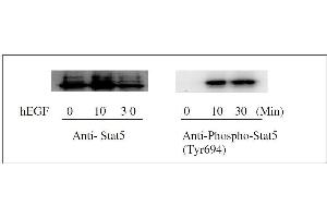 Image no. 5 for Signal Transducer and Activator of Transcription 5A (STAT5A) ELISA Kit (ABIN1981843)