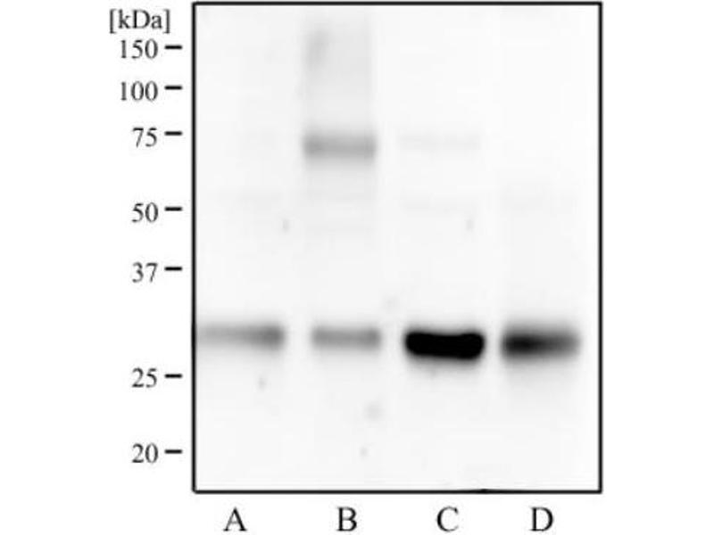 Western Blotting (WB) image for anti-tyrosine 3-Monooxygenase/tryptophan 5-Monooxygenase Activation Protein, gamma Polypeptide (YWHAG) (N-Term) antibody (ABIN251485)