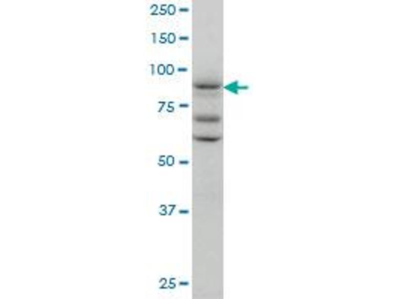 Western Blotting (WB) image for anti-Tax1 (Human T-Cell Leukemia Virus Type I) Binding Protein 1 (TAX1BP1) (AA 690-789), (partial) antibody (ABIN563868)