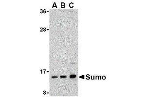 Western Blotting (WB) image for anti-SMT3 Suppressor of Mif Two 3 Homolog 1 (S. Cerevisiae) (SUMO1) (N-Term) antibody (ABIN2476632)