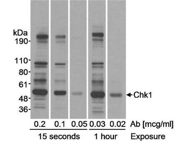 Western Blotting (WB) image for anti-Checkpoint Kinase 1 (CHEK1) (AA 250-300) antibody (ABIN151911)