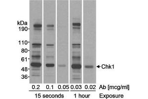 Western Blotting (WB) image for anti-CHEK1 antibody (Checkpoint Kinase 1) (AA 250-300) (ABIN151911)
