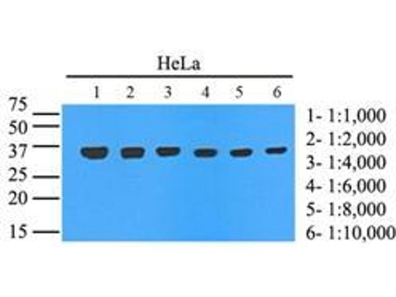 Western Blotting (WB) image for anti-GAPDH antibody (Glyceraldehyde-3-Phosphate Dehydrogenase) (AA 1-335) (ABIN492380)