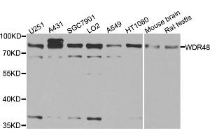 Image no. 1 for anti-WD Repeat Domain 48 (WDR48) antibody (ABIN6570737)