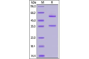 Image no. 1 for Glypican 2 (GPC2) (AA 24-553) protein (Fc Tag) (ABIN7013392)