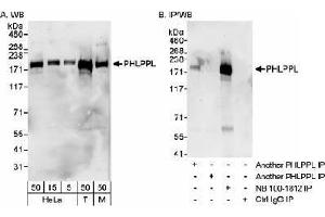 Western Blotting (WB) image for anti-PH Domain and Leucine Rich Repeat Protein Phosphatase 2 (PHLPP2) (C-Term) antibody (ABIN151321)