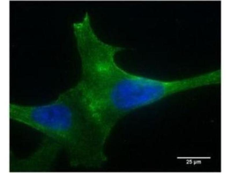Immunofluorescence (fixed cells) (IF/ICC) image for anti-phospholipase A2 Receptor 1, 180kDa (PLA2R1) (N-Term) antibody (ABIN4345963)