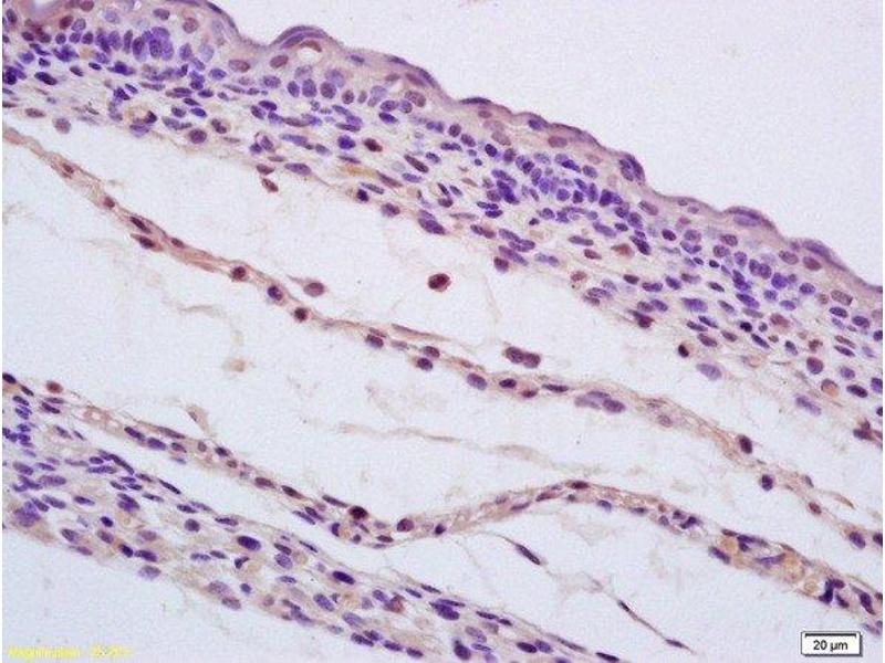 Immunohistochemistry (Paraffin-embedded Sections) (IHC (p)) image for anti-SHC1 antibody (SHC (Src Homology 2 Domain Containing) Transforming Protein 1) (AA 480-520) (ABIN700990)