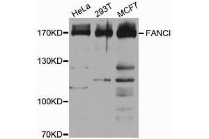 Western Blotting (WB) image for anti-Fanconi Anemia Complementation Group I (FANCI) antibody (ABIN1872655)