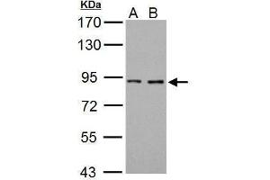 Image no. 1 for anti-Coagulation Factor II (thrombin) (F2) (N-Term) antibody (ABIN2854967)
