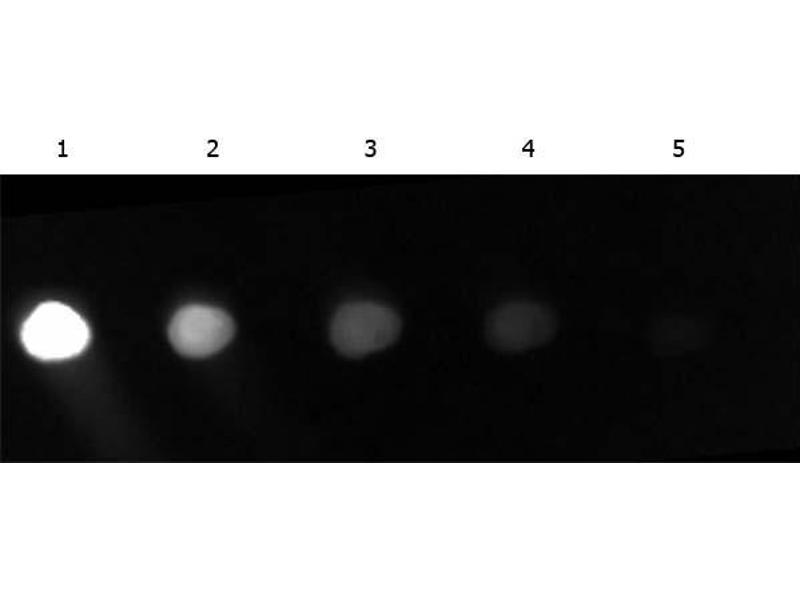 Image no. 3 for anti-Green Fluorescent Protein (GFP) (AA 246) antibody (FITC) (ABIN100088)
