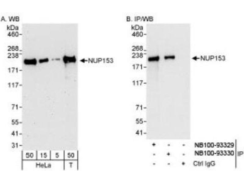 Western Blotting (WB) image for anti-Nucleoporin 153kDa (NUP153) (AA 50-100) antibody (ABIN408608)