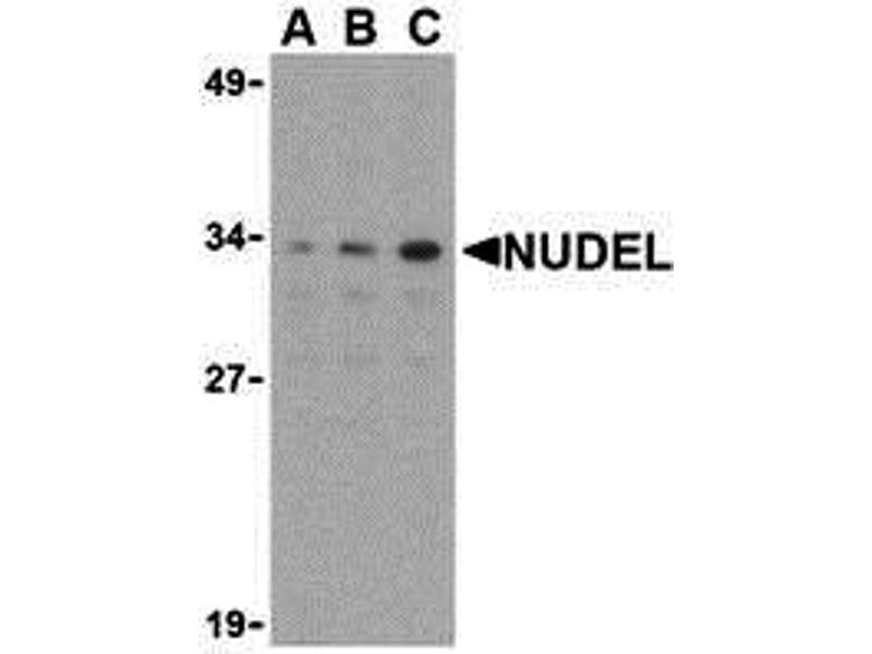 Western Blotting (WB) image for anti-NudE Nuclear Distribution E Homolog (A. Nidulans)-Like 1 (NDEL1) (N-Term) antibody (ABIN1031492)
