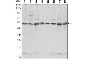 Western Blotting (WB) image for anti-CSK antibody (C-Src tyrosine Kinase) (ABIN969069)