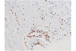 Image no. 6 for anti-Mitogen-Activated Protein Kinase 8 (MAPK8) (pThr183), (pTyr185) antibody (ABIN6255620)