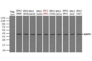 Immunoprecipitation (IP) image for anti-ERK2 antibody (Mitogen-Activated Protein Kinase 1) (Transcript Variant 2) (ABIN4309411)