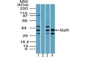 Image no. 1 for anti-V-Maf Musculoaponeurotic Fibrosarcoma Oncogene Homolog A (Avian) (MAFA) (AA 300-350) antibody (ABIN960258)