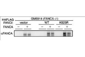 Image no. 1 for anti-Fanconi Anemia Group A Protein (FANCA) (AA 995-1009) antibody (ABIN129606)