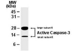 Western Blotting (WB) image for anti-Caspase 7, Apoptosis-Related Cysteine Peptidase (CASP7) antibody (ABIN537398)